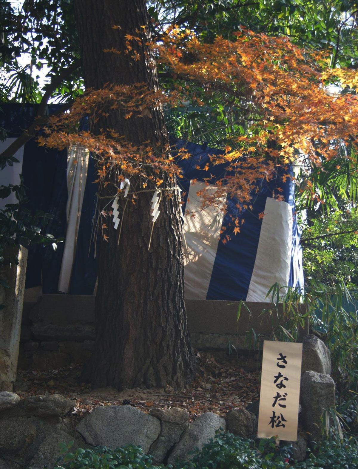 安居神社の2代目さなだ松。幸村公の戦死した場所